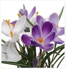 best 25 saffron seeds ideas on saffron flower lilies