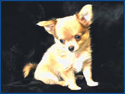 Small Dogs That Dont Shed Uk by Tiny Dog Breeds Uk Dogs Pet Animals Photos 6ljl9q4jn2 3229