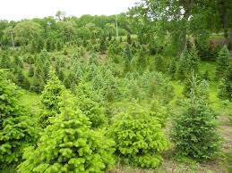 Fraser Christmas Tree Farm Ri by Tree Integrated Pest Management A Problem Solving Site For Tree