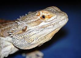Bearded Dragon Heat Lamp Went Out by Leopard Gecko Or Bearded Dragon The Better Pet That Reptile Blog
