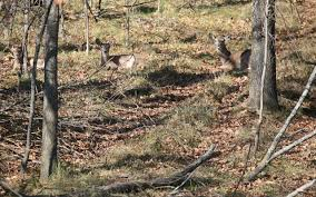 Why Not Hunt Deer Bedding Areas Grand View Outdoors