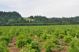 Christmas Tree Species Usa by Christmas Tree Grower In Oregon Branches Out With Nrcs Assistance