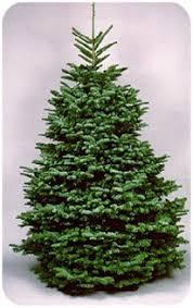 Nordmann Fir Christmas Tree Seedlings by Harvey U0027s Harvest Christmas Trees