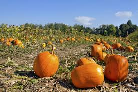 Pumpkin Patches Columbus Oh by Pumpkin Field Night Oct 9 Focuses On Crop Management Cfaes