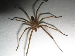 How To Tell If A Spider Is Not A Brown Recluse | Spiderbytes Spiders At Spiderzrule The Best Site In World About Spiders Barn Funnel Weaver Spider North American Insects Bug Eric Thinlegged Wolf Genus Pardosa Grass How To Tell If A Spider Is Not Brown Recluse Spiderbytes