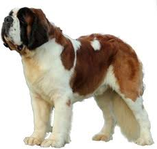 Do Smooth Coat St Bernards Shed by Saint Bernard Dog Breeds Saint Bernard Dog And Bernard Dog