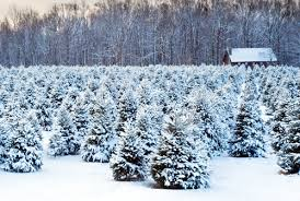 Christmas Tree Permits Colorado Springs by How To Cut Your Own Colorado Christmas Tree Our Community Now At