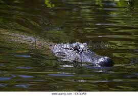 alligator bayou lake update louisiana alligator bayou stock photos alligator bayou stock images alamy