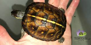 Flukers Turtle Clamp Lamp by Yearling Eastern Box Turtle For Sale Online Buy Eastern Box Turtle