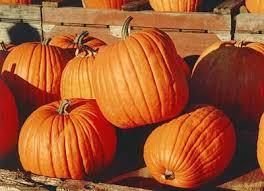Natural Fertilizer For Pumpkins by The Benefits Of Liquid Seaweed Fertilizer Dengarden