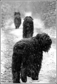 Do F1 Sheepadoodles Shed by 201 Best Dogs Of Flandres The Bouvier Images On Pinterest