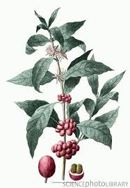 Coffee Plant Clipart Seed 66301