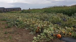Colorado Pumpkin Patch by Corn Maze And Pumpkin Patch In Lone Tree Youtube