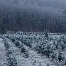 Winterberry Christmas Tree Farm by Maple Hollow Christmas Tree Farm A Community Tradition Since