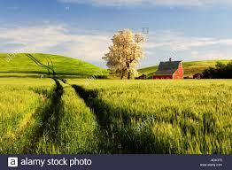 Red Barn And Blooming Tree With Rolling Hills Of Wheat And Tractor ... Red Barn Washington Landscape Pictures Pinterest Barns Original Boeing Airplane Company Building Museum The The Manufacturing Plant Exterior Of A Red Barn In Palouse Farmland Spring Uniontown Ewan Area Usa Stock Photo Royalty And White Fence State Seattle Flight Interior Hip Roof Rural Pasture Land White Fence On Olympic Pensinula