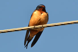 Barn Swallow | Heatherandkyle Flying Barn Swallow Stock Photo Image Of Swift Martin 13408420 Perching Birds Lake Apopka Wildlife Audubon Guide To North American Ebirdr Watercolor Blue Bird On Stock Illustration 302720159 Warsciowestronytop Words On Another Blog First Chicks Swallows Including And Tree