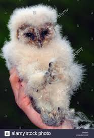 Dpa) - A Three-weeks-old Barn Owl Sits On Its Keeper's Hand In The ... Standing Twelve Weekold Barn Owl Side View Stock Photo Getty Images Boxes South Downs National Park Authority Old Man Of Minsmere Aka John Richardson Gorgeous Birds In Folklore Owls And Ravens Randomdescent Orbit The 5 Weekold Baby Who Has Been Hand Ared By Owl Wikipedia Coda Falconry On Twitter Our 7 Week Old Barn Was Bred At Dont Go Deaf New Zealand Geographic Australian Masked Rescuing Owls Tropic Wonder Audubon Art Print Vintage Nature Bird Eyfs Blog Archive Wise