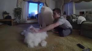 Do Samoyeds Shed All The Time by Brushing My Samoyed Sam Part 1 Youtube