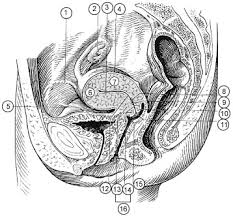 Uterus Lining Shedding Between Periods by Endometrial Hyperplasia Moronacity Health Journal