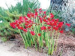 rhodophiala bifida argentine amaryllis showy easy to grow
