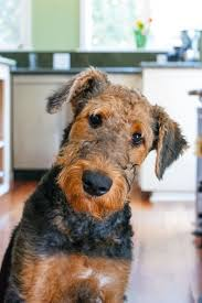 Airedale Terrier Non Shedding by Airedale Puppy And His Name Is Stuart And He Is 5 Months Old And