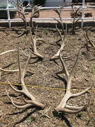 Shed Hunting Utah 2014 by Admin Arizona Antler Addiction
