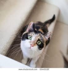 cat stairs cat stairs stock images royalty free images vectors