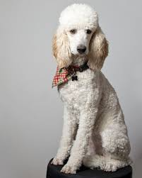 Non Shed Dog Breeds Hypoallergenic by Hypoallergenic Hunting Dogs