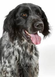 Large Low Shedding Dogs by Large Munsterlander Breed Information