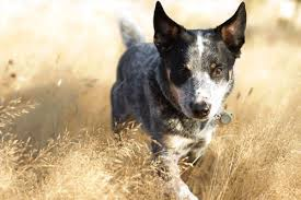 Blue Heeler Mix Shedding by 28 Stop Blue Heeler Shedding Historical Notes The