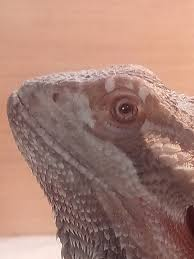 Bearded Dragon Shedding Nostrils by 100 Baby Bearded Dragon Shedding Problems Dex The Bearded
