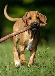 Do Rhodesian Ridgebacks Drool by 86 Best Rhodesian Ridgeback Dogs And Puppies Images On Pinterest