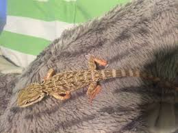 Bearded Dragon Heat Lamp Went Out by I Think My Bearded Dragon Is Sick Please Help U2022 Bearded Dragon