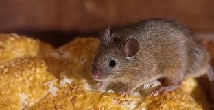 avez vous des souris dans votre maison élite extermination