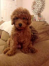 Do Cavapoos Shed A Lot by Cavapoo Puppy Owen Pinterest Cavapoo Puppies And Cavapoo