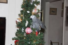 Publix Christmas Trees by And An African Grey In A Christmas Tree U201d Palm Coast Palm Coast