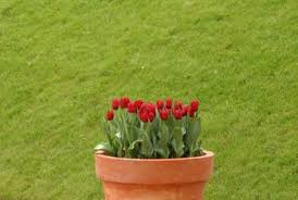 how to grow bulbs in containers home guides sf gate