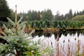 Christmas Tree Permits Colorado Springs by Where To Cut Your Own Christmas Tree Heraldnet Com