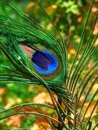 Peacock Feather Wallpapers HD Pictures Images 480x640