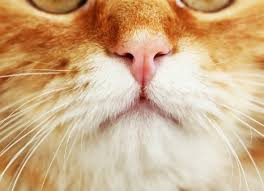 nasal discharge in cats runny nose in cats petmd