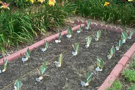 why shouldn t i plant bulbs between the new iris