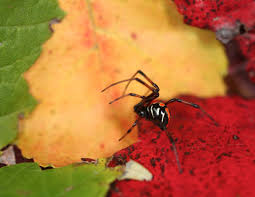 Black Widow Spiders Discovered In Connecticut Family's Backyard ... R2rustys Chatter September 2017 Ladybugs Backyard And Beyond Birdingand Nature Golden Silk Orb Weaver Spider In Bug Eric Sunday Black Yellow Argiope Glass Beetle By Falk Bauer A Backyard Naturalistinsects Ghost Spiders Family Anyphnidae Spidersrule C2c_wiki_silvgarnspider_hrw8q0m1465244105jpg Aurantia Wikipedia Two Views Sonoran Images Elephant Tiger Skin Spiny Blackandyellow Garden Mdc Discover Power Animal For October Shaman Amy Katz