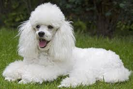 30 non moulting dogs best hypoallergenic breeds that don t shed