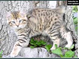 bobtail cat american bobtail collection of cat breed pictures