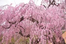 You Will Find The Weeping Cherry Tree Painted On China Vases And Pottery Artists Love To Make Them A Subject In Landscape Scenes Too