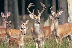 When Do Whitetails Shed Their Antlers by Sc Wildlife Magazine