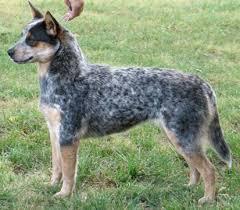 642 best australian cattle dog love images on pinterest