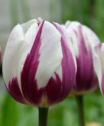 84 best tulips i have known images on Pinterest