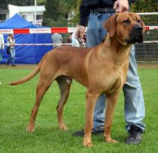 Non Shedding Dogs Large by Tosa Inu Info Temperament Training Diet Puppies Pictures