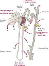 High Ceiling Loop Diuretics Adverse Effects by Diuretics Nurse Key